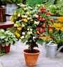 FLOWERING MAPLE MIX - 60 SEEDS - Abutilon Hybridum Bellvue - Pot and patio plant