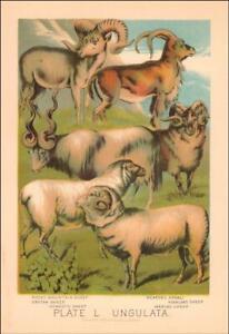 SHEEP, Highland, Merino, Domestic, etc. antique chromolithograph original 1897