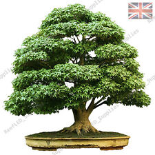 Acer palmatum Bonsai, Japanese Maple, Small Leaf 20x Fresh Viable Seeds UK