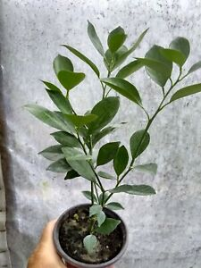 Mayer Lemon Tree in 4 inch pot. Easy plant to grow.