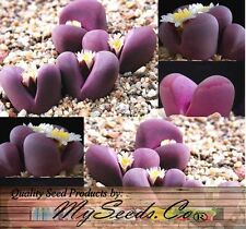 (50) LITHOPS OPTICA Species Mix Seeds - Living Stones Rocks - Combined S&H