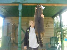 "45""' Monster Adirondack Mt.Superr Black Fisher Raccoon Pelt/Coyote/Fur/Fox/Rare"