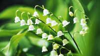 100PCs Lily Of The Valley Convallaria Majalis Perennial Flower Seeds Bonsai🥀