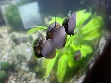 5 Live Japanese Trapdoor Snails algae eater clean up crew pond aquarium Med sz