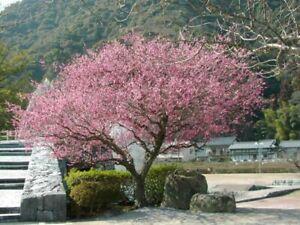 Japanese apricot, or Mume (Prunus mume) 7 seeds