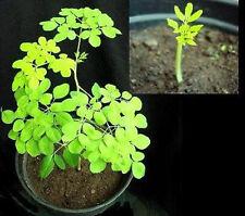 """Hübsche Zierpflanze & Nutzpflanze : Meerrettich-Baum """"Moringa Oleifera""""  / Samen"""