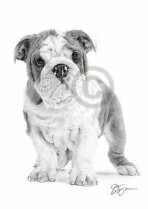 ENGLISH BULLDOG PUPPY pencil art print A4 size by UK artist Pet Portrait