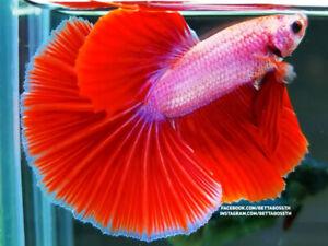 (RareItem!) Premium Live Betta Fish l Male Halfmoon Pink Dragon Plakat