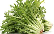 100 Graines de Chicorée Frisée - jardin potager légumes méthode BIO