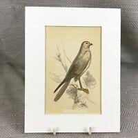 1853 Marsh Harrier Uccello Fauna Selvatica Vittoriano Antico Originale Stampa