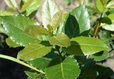1 Bay Leaf Live Plant - Laurus nobilis - 'Bay Leaf Tree' - Herb - From Colorado