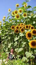 winterharte Riesen-Sonnenblumen schnellwüchsig exotische Pflanzen für den Garten