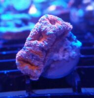 Live Coral Frag Robbie's Corals Red And Blue Acanthestrea Coral Frag LPS