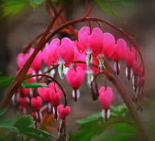 Perennial Herbs Dicentra Spectabilis Flower Bleeding Seed Purple 10pcs
