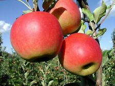 Apfelbaum  Herbstapfel  'Santana ´1 Jährige, Spindel.