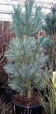 Biegsame Kiefer Vanderwolfs Pyramid - Pinus flexilis Vanderwolfs Pyramid 100-125