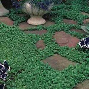 Dichondra Repens- 200 Seeds- BOGO 50% off SALE