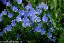 100 grams 21,000 Echium Vulgare Seeds Blue Snow Thistle Viper's Bugloss Flower