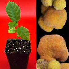 Kwai Muk Artocarpus Hypargyreus Tropical Fruit Tree Starter Plant