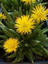 Bergeranthus Glenensis -Succulent Evergreen Alpine Rockery Plant in 9cm Pot