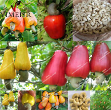 Cashew Tree Seeds, Anacardium Occidentale Cashew Apple Rare Tropical Nut Seeds