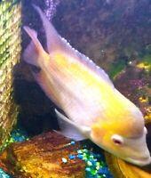 "8 Golden Flame/Red Dragon Flowerhorn FRY 1/2""-3/4"" Live Freshwater Aquarium Fish"