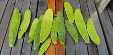 Spineless Prickly Pear Cactus Opuntia Ficus Indica nopales -PADDLE LOT --LOOK!