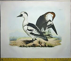 Gigantic  signed Engraving,P.J.Selby,Smew,male&female,handcol.engraving,ca.1827