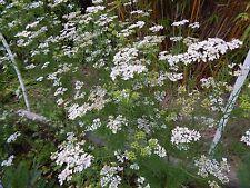 New listing Cilantro / Coriander Herb - 100 Fresh Seeds - Beautiful Bloom!