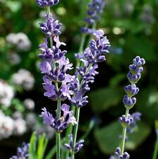 Lavender angustifolia (English Lavender) in 50mm forestry tube perennial plant