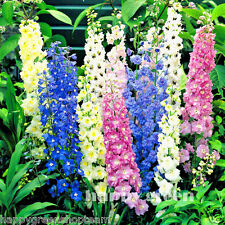 DELPHINIUM PACIFIC MIX - GIANT - 160  seeds - Delphinium Cultorum