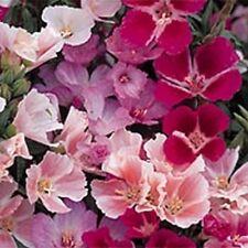 Godetia- Monach Mix- Grandiflora- 100 seeds- BOGO 50% off SALE