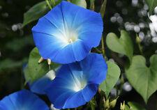 120 Graines de Ipomée Géante Bleu d'Azur  / Fleur Grimpante
