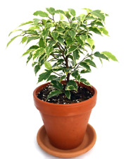 "Ficus Live Plant Gardens Starlight Weeping Fig exotic indoor tree in 4"" Clay Pot"