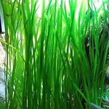 Jungle Vallisneria Rooted Plants 1.5-2 Feet Tall - Easy Background Aquarium