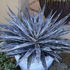 Moonglow Mangave NICE LARGE STARTER Plant Agave/Manfreda Hybrid SPOTTED Leaves!