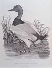 Pochard DUCK, ORIGINAL PRINT Antique ENGRAVING, Matted 8X10 Birds animals c1820s