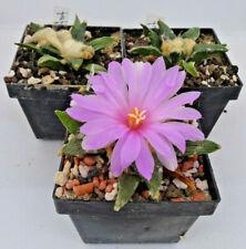 Kakteen – Kaktus – Ariocarpus furfuraceus - 1 Pflanze