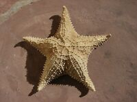 "VTG Genuine STARFISH Dried Specimen LARGE Nautical DECOR 13"""