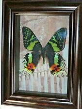 Real sunset moth Butterfly Framed Mounted Shadowbox Art Gift Insect taxidermy