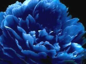 10 BLUE BOTANICULA TREE PEONY SEEDS - (Paeonia suffruticosa)