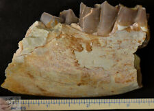 Hyracodon Jaw Section, Fossil, Early Rhinoceros, Badlands S Dak, Oligocene, R789