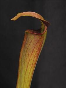 Carnivorous Sarracenia alata var rubrioperculata