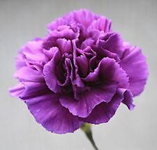 Nelke violett Samen Blumensamen