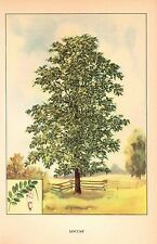 """1926 Vintage TREES """"LOCUST"""" GORGEOUS COLOR Art Print Lithograph"""