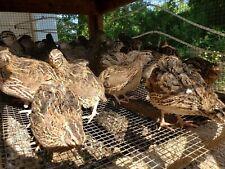 80 Jumbo Brown Pharaoh Coturnix Quail Hatching Eggs