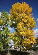Green Ash Tree Seeds (Fraxinus Pennsylvanica), 25 seeds