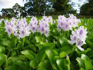 Water Hyacinth Pond Floating Boggy Flowers Organic Oxygenating Aquatic Plants