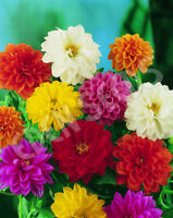 Dahlia Hi Dolly Mix Seed 8 Colours Early Flowering Good Cut Flower