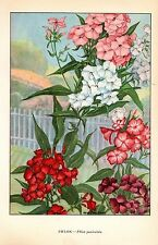 """1926 Vintage GARDEN FLOWER """"PHLOX"""" GORGEOUS COLOR Art Print Lithograph"""